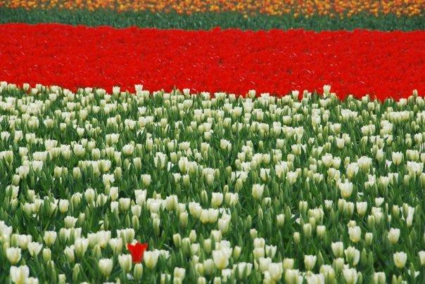 Tulipani Italiani_Olanda