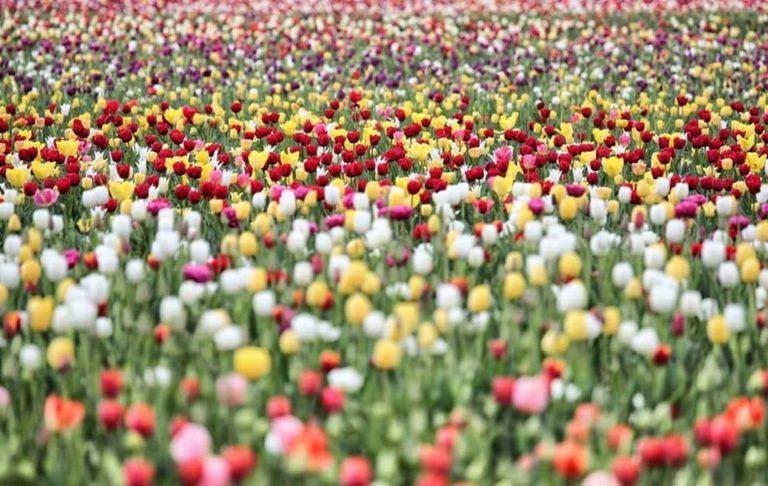 Tulipani Italiani Cornaredo 2018_Tulipando