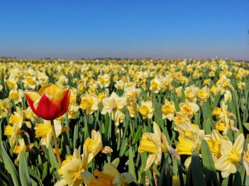 Tulipani in Olanda detail_Tulipando