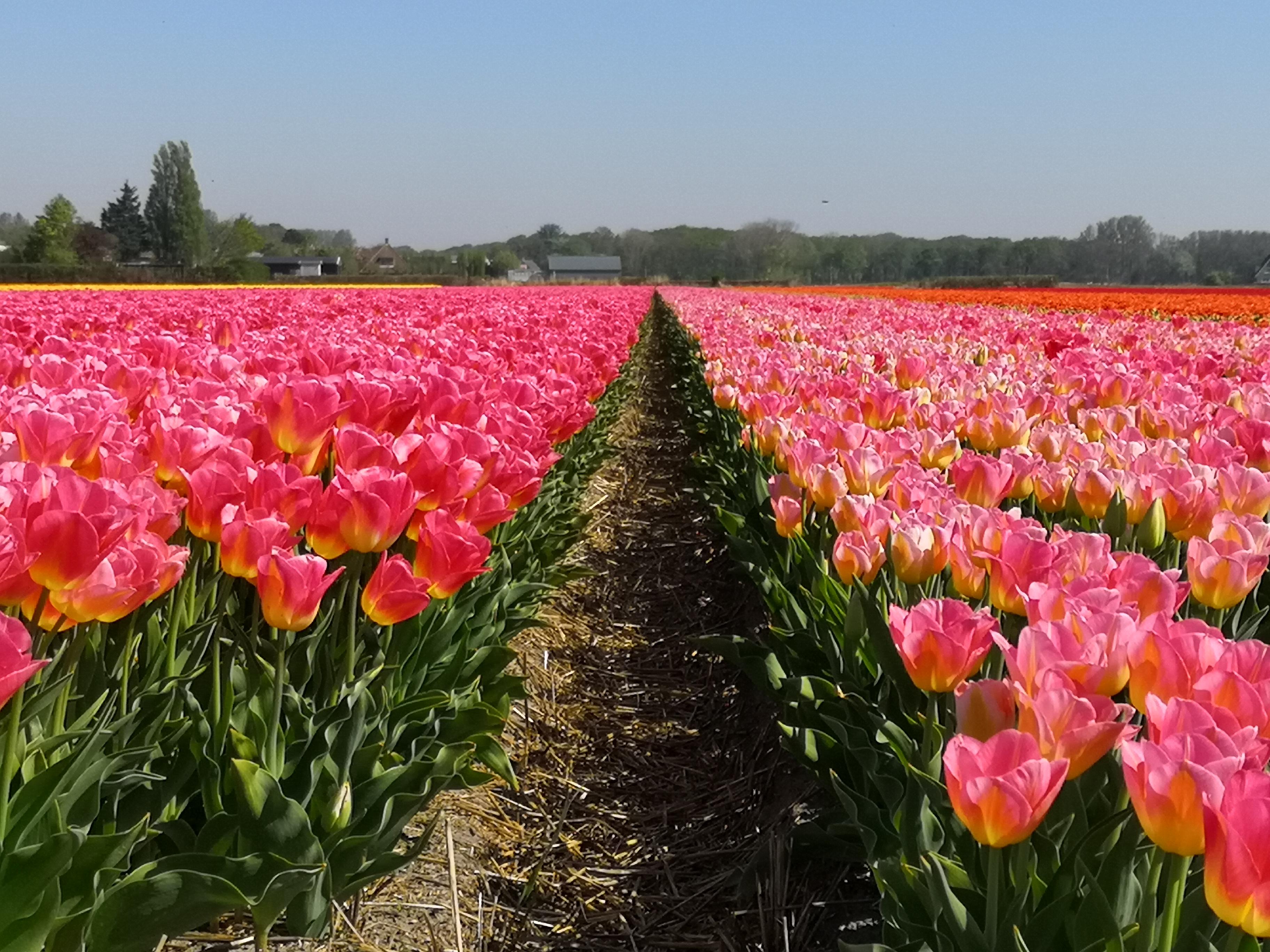 Tulipani in Olanda_Tulipando