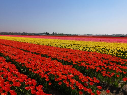 Tulipani in Olanda 2_Tulipando