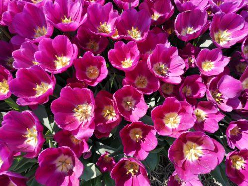 Tulipani in Olanda 1_Tulipando