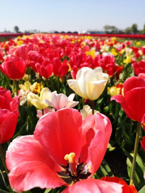 Tulipani in Olanda 4_Tulipando