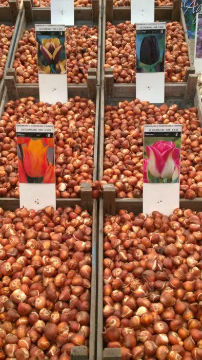 Tulipani in Olanda bulbi_Tulipando